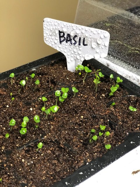 Basil sprouts in seed trays.